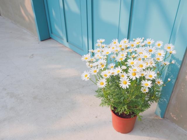 マーガレットの鉢植えと水色の扉