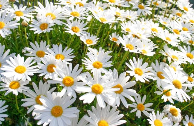 一面に咲く白いマーガレット