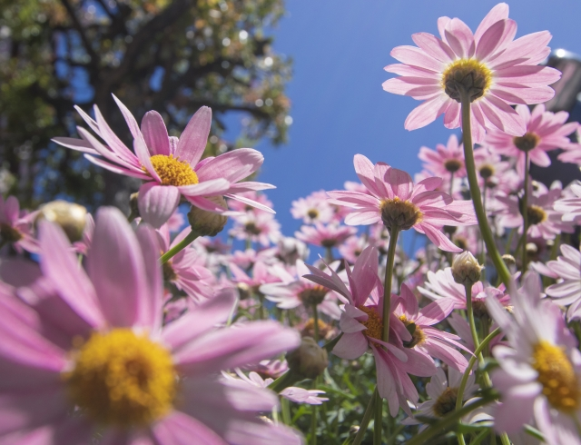 空に向かって伸びるピンク色のマーガレット