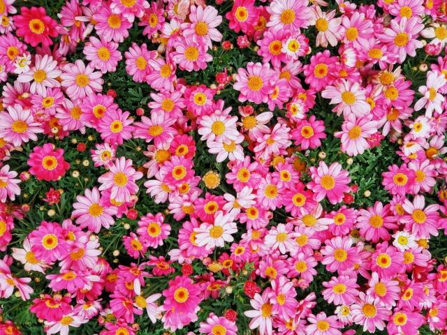 満開のピンク色のマーガレット